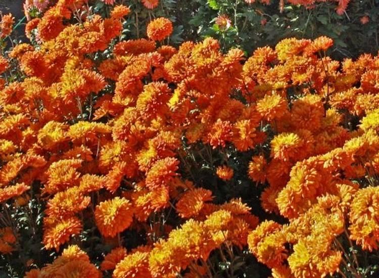 Оранжевый закат - хризантемы корейские многолетние зимостойкие