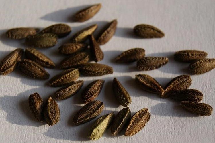 Семена остеоспермум на фото