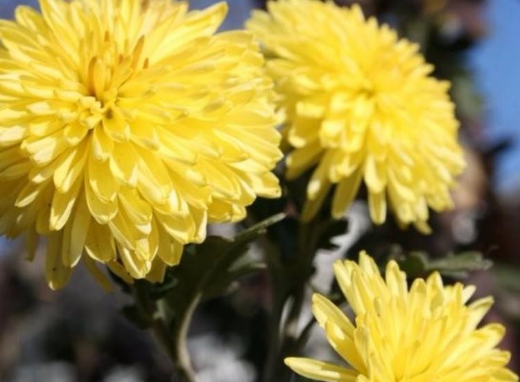 Солнышко - хризантемы корейские многолетние зимостойкие