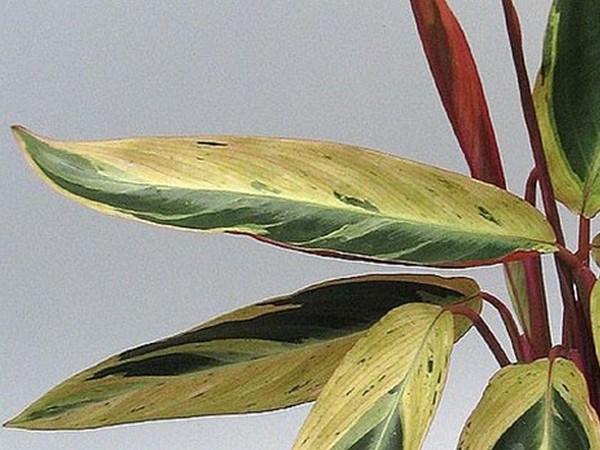 Строманта хортиколор с фото и названием