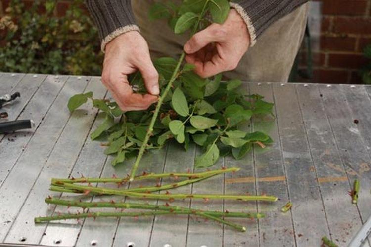 Как размножать шиповник черенками осенью