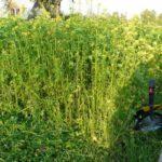 Как сеять сидераты осенью и какие эффективнее