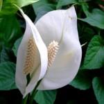 Как ухаживать за спатифиллумом, чтобы вырастить «женское счастье»