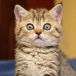 Имена для котов мальчиков-британцев и простых пород