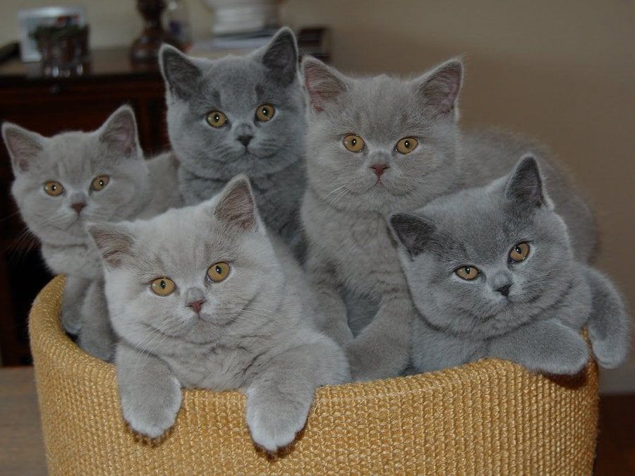 Картинки британские кошки и котята