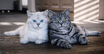 Британская порода кошек