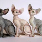 Порода кошек Сфинкс