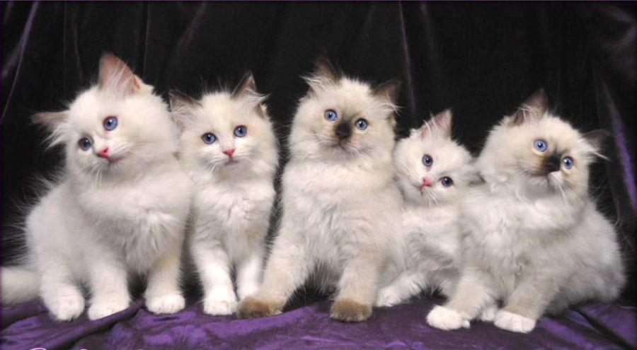 покажи фотографии кошек и сколько они стоят гамма