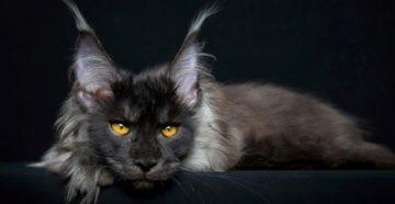 Самые большие кошки породы Мейн-Кун