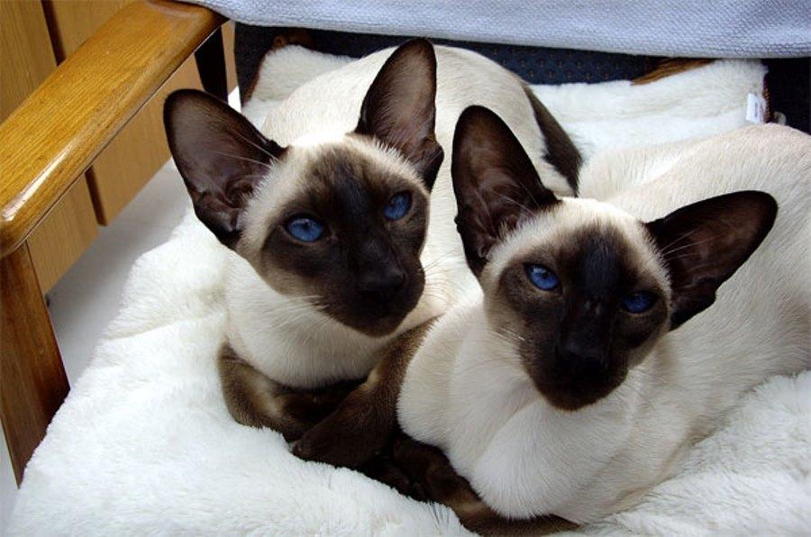 Сколько живут сиамские коты в домашних условиях