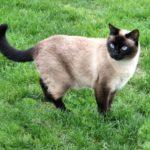 Сиамская порода кошек - своенравные красавцы