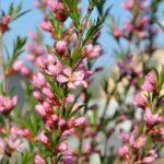 Декоративный миндаль – сорта, как посадить и ухаживать за кустарником