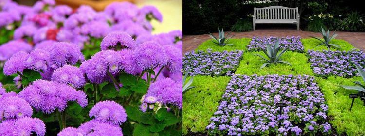 Однолетние цветы Агератум Хоустона