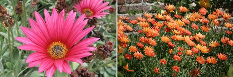 Однолетние цветы Арктотис