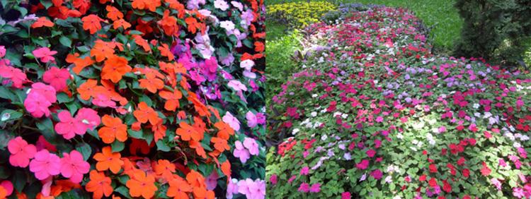 Однолетние цветы Бальзамин Уоллера