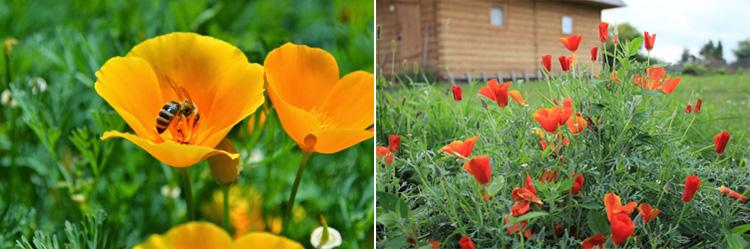 Однолетние цветы Эшшольция калифорнийская