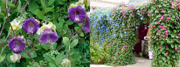 Однолетние цветы Кобея