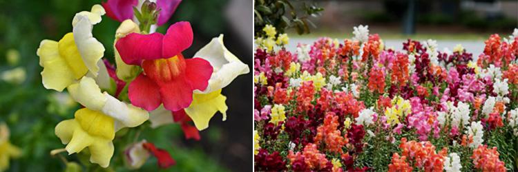 Однолетние цветы Львиный зев