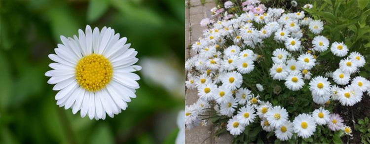 Однолетние цветы Маргаритка