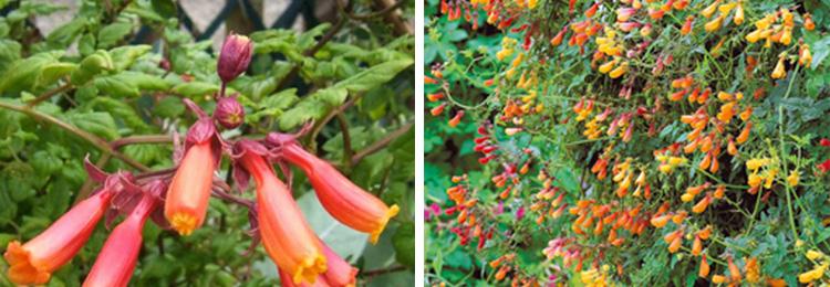 Однолетние цветы Вислоплодник