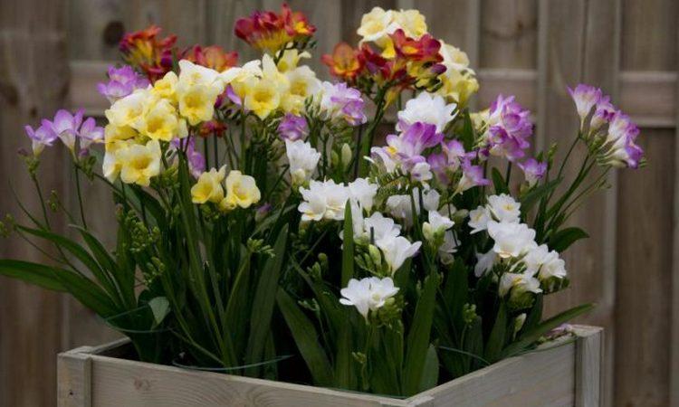 Цветок фрезия (махровый микс): посадка и уход, фото