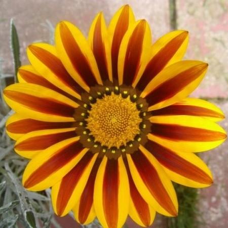 Цветок гацания - сорт линейная