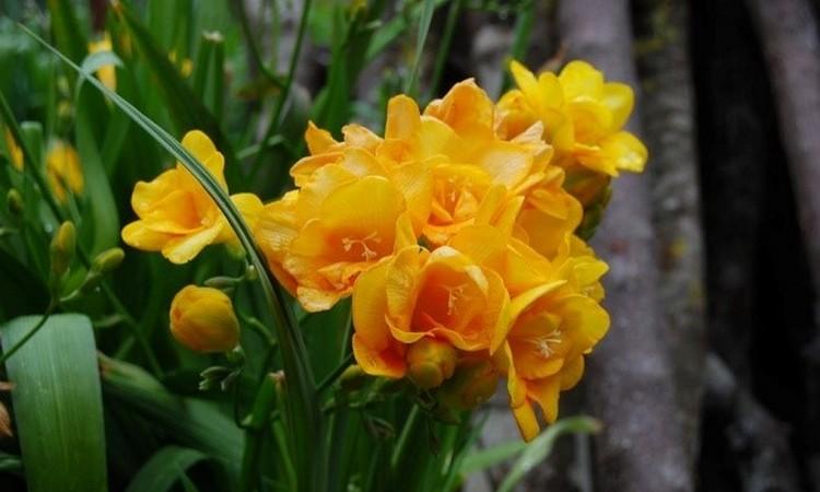 Цветы фрезия сорта yellow: посадка и уход, фото