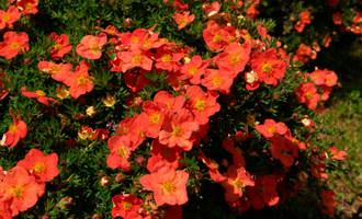 Лапчатка кустарниковая red aсе