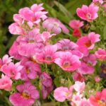 Красавица немезия: когда сеять семена, посадка, уход