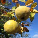 Китайская и японская айва: вкус и польза древнего фрукта