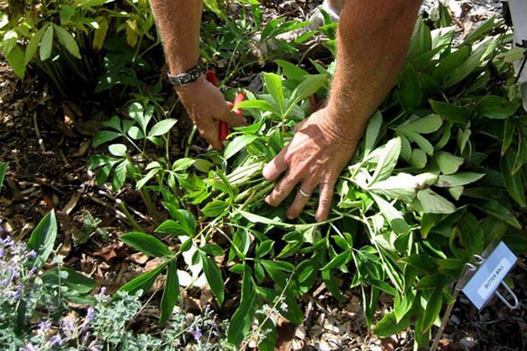 Болезнь пионов кольцевая мозаика листьев