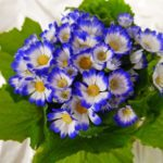 Цинерария комнатная: выращивание из семян, фото, описание