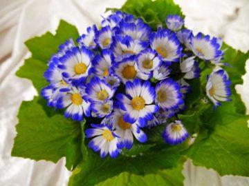 Цинерария комнатная - выращивание из семян, фото цветка