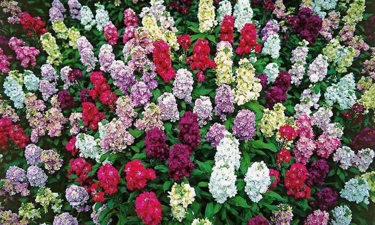 Цветок левкой древовидный - посадка и уход