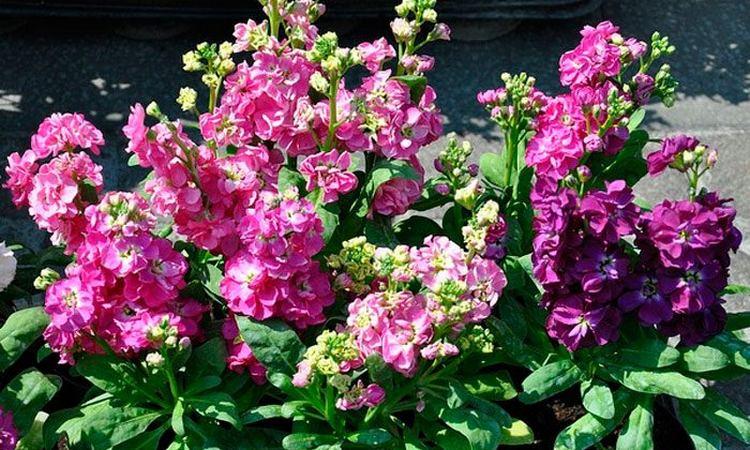 Цветок левкой исполинский: фото, посадка и уход