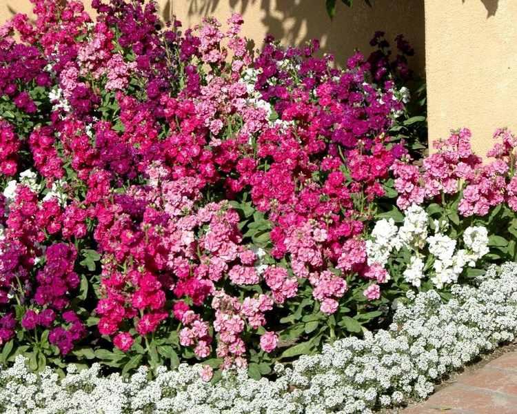 Цветок левкой пирамидальный - посадка и уход