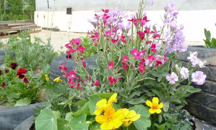 Цветок левкой раскидистый: фото, посадка и уход
