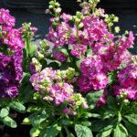 Цветы левкой - посадка и уход, фото