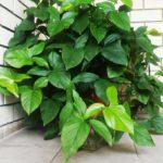 Филодендрон лазящий – можно ли держать дома