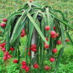 Питахайя или драконовый фрукт: выращивание в домашних условиях