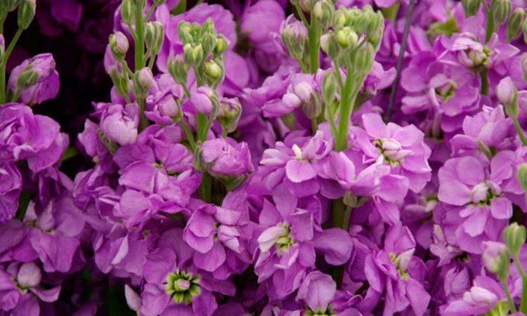 Левкой букетный многолетний - посадка и уход, фото цветка