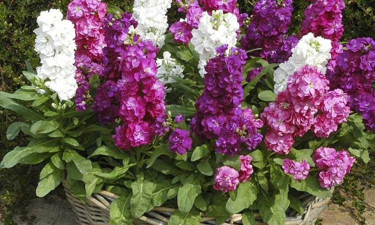 Левкой кведлинбургский - посадка и уход, фото цветка