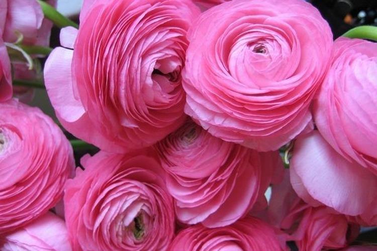 Розовый ранункулюс дома в горшке