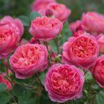 Сорта роз с фото и описанием