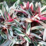Комнатные цветы строманта: уход в домашних условиях