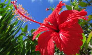 Виды китайской розы: фото и названия