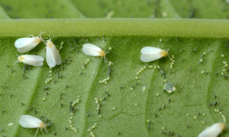 Вредитель комнатных растений белокрылка - меры борьбы с ней