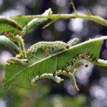 Самые коварные вредители роз – описание и методы лечения