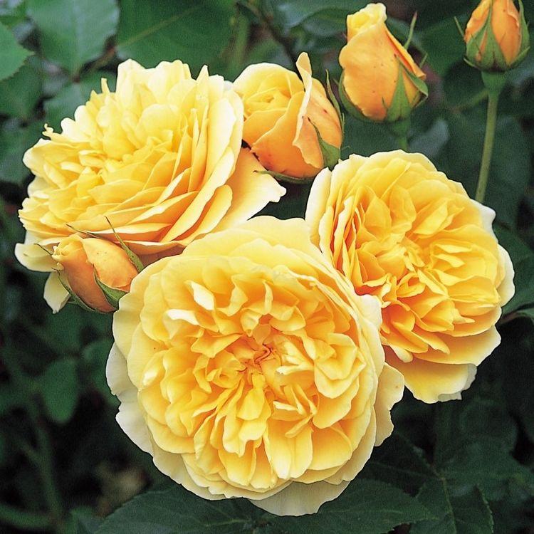 Английские многолетние кустовые розы для сада: фото и название