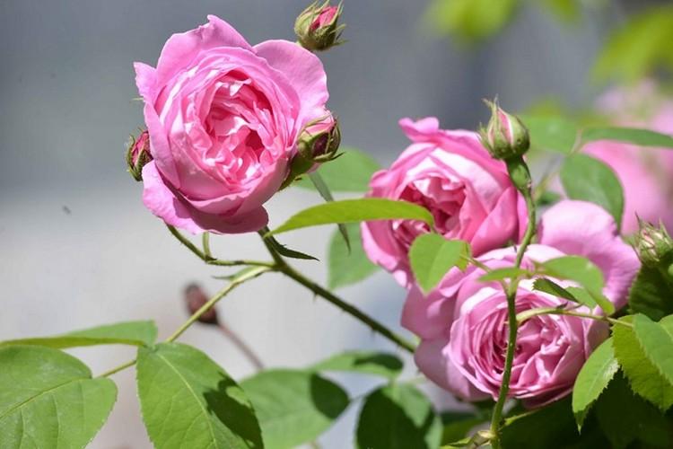Бурбонские многолетние кустовые розы для сада: фото и название